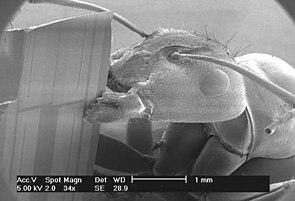 Ernteameise mit typischer dicondyler Mandibel