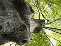 Carpinus betulus (4).JPG
