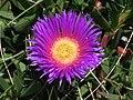 Carpobrotus edulis flor.jpg