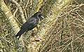 Carrion Crow in a Cherry Tree - geograph.org.uk - 1155132.jpg