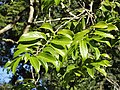 Casearia gladiiformis, loof, KZN NBT.jpg