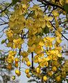 Cassia fistula (Amaltas) in Hyderabad W IMG 8175.jpg