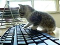 Cat keyboard.jpg