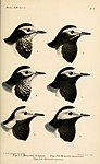 Catalogue of the Birds in the British Museum (1885 - 1885) (19957598413).jpg