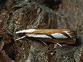 Catoptria permutatellus (39018369110).jpg