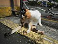 Cats in t1302Cats in the Philippines 16.jpg