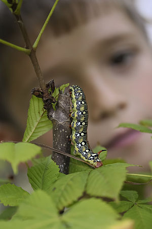 English: Caterpillar Hyles euphorbiae