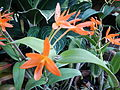 Cattleya aurantiacajf9273 02.JPG