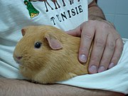 A guinea pig being held