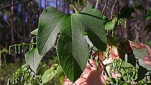 Cayaponia - Cayaponia tayuya leaf
