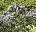Ceanothus impressus 1.jpg