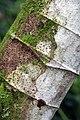 Cecropia obtusifolia 24zz.jpg