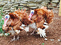 Cedar Point animal farm turkeys (2891).jpg