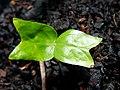 Celtis paniculata seedling.jpg