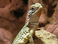 Central Netted Dragon closeup at Sydney Wildlife World.jpg
