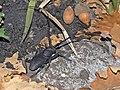 Cerambycidae - Morimus asper.jpg