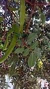 Ceratonia Siliqua green fruits pods - χαρουπιά.jpg