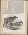 Cervus alces - 1856 - Print - Iconographia Zoologica - Special Collections University of Amsterdam - UBA01 IZ21500116.tif