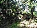 Cesta k obci Pohleď, vyvrácené stromy (3).jpg