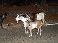 Chèvres des Gorges de l'Ardèche.jpg