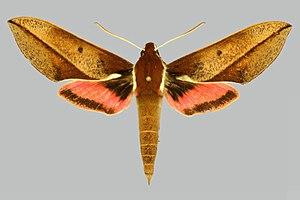 Wildlife of Malawi - Image: Chaerocina zomba BMNHE274525 male up