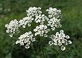 Chaerophyllum temulum kz07.jpg