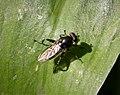 Chalcosyrphus nemorum - Flickr - gailhampshire (1).jpg