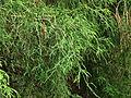Chamaecyparis pisifera 04.JPG