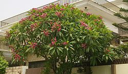 Champa tree with pink flowers in Islamabad, Pakistan.jpg