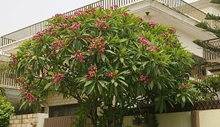 <i>Plumeria rubra</i> species of plant