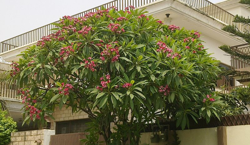 Tập tin:Champa tree with pink flowers in Islamabad, Pakistan.jpg