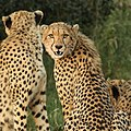 Cheetah, Acinonyx jubatus, at Pilanesberg National Park-3 (37161619143).jpg