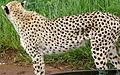 Cheetah (4300818732).jpg