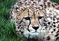 Cheetah in Kent.jpg