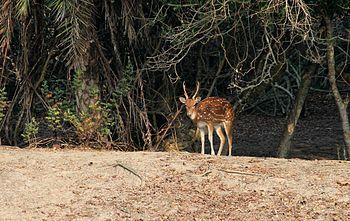 Cheetal of Sunderbans.jpg