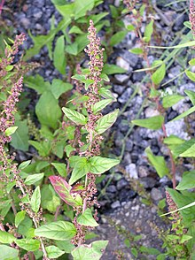 Many-seeded Goosefoot(Chenopodium polyspermum)