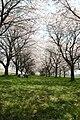 Cherry blossom - panoramio - masanori shiratori.jpg
