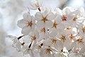 Cherry blossom near Zenpukuji river, Tokyo; March 2008 (24).jpg