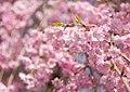 Cherry blossoms in Kenrokuen (Kanazawa, Japan) (2444470452).jpg