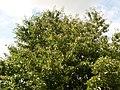 Cherry tree, Fryšták.jpg