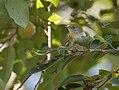 Chestnut-sided Warbler (36987459113).jpg