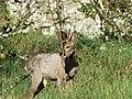 Chevreuil mâle Périgueux (6).jpg