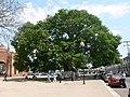 Chiapa de Corzo - 1000jähriger Ceiba-Baum 2.jpg
