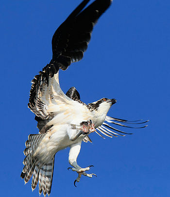 English: juvenile osprey learning to fly