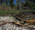 Chicken Turtle.jpg