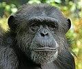 Chimpanzé commun.jpg