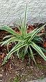Chlorophytum comosum 'Variegatum'- Αράχνη.jpg
