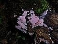 Chondrostereum purpureum 78352035.jpg