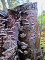 Chondrostereum purpureum syn. Stereum purpureum (GB=Purple silverleaf, D= Violetter Knorpelschichtpilz, NL= Paarse korstzwam) white spores and causes Silver leaf disease (loodglansziekte) at Renkum - panoramio.jpg