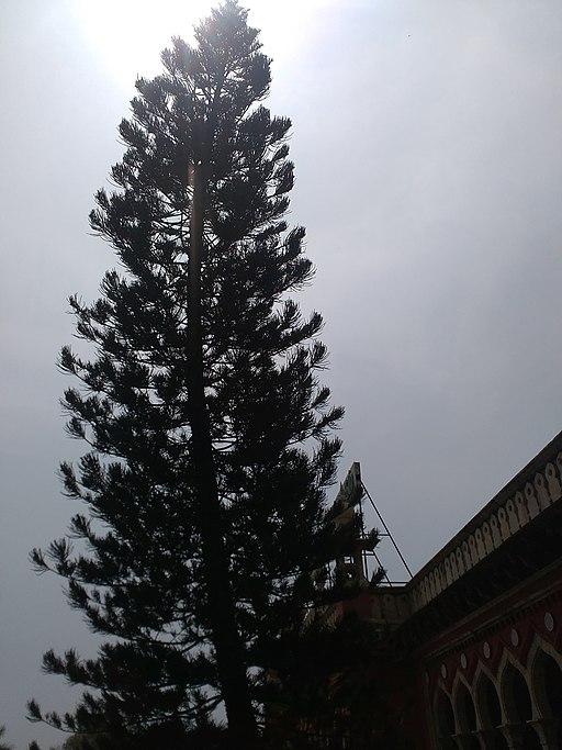 Tall 100 year old evergreen tree